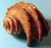 Ecphora gardnerae gardnerae