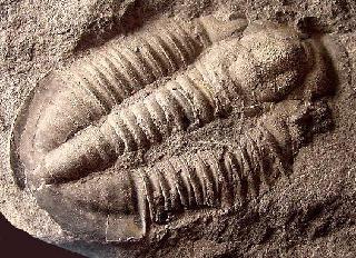 Asaphiscus wheeleri