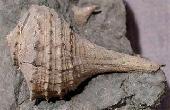 Pyropsis proxima