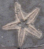 Stenaster salteri