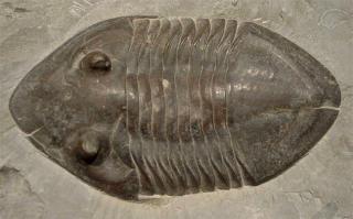 Isotelus mafritzae