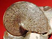 Shenodiscus lenticulares