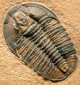 Modocia weeksensis