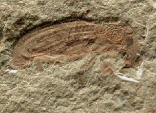 Curculionidae