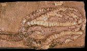 Onychocrinus exculptus