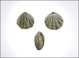 Choristothyris plicata