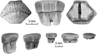 Myledaphus bipartitus