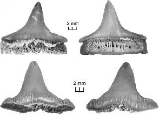Hybodus montanensis