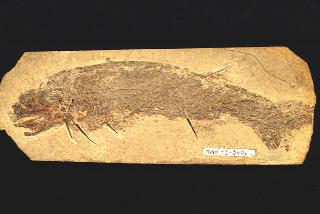 Homalacanthus concinnus