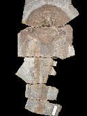 Escuminaspis laticeps