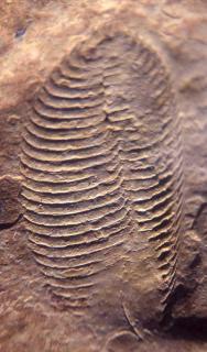 Pteridinium carolinaensis
