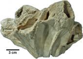 Balanus gregarius
