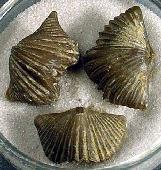 Platystrophia acutilirata