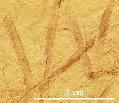 Monograptus priodon