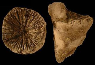 Rugose coral