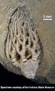 Cyathocrinites multibrachiatus