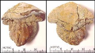 Petalodus sp.
