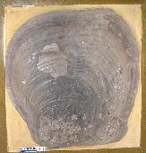 Platyceramus platinus