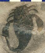 Eurypterus remipes